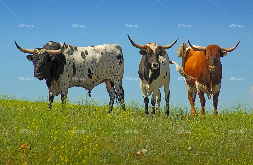 Three Longhorn bulls coming over the hill.