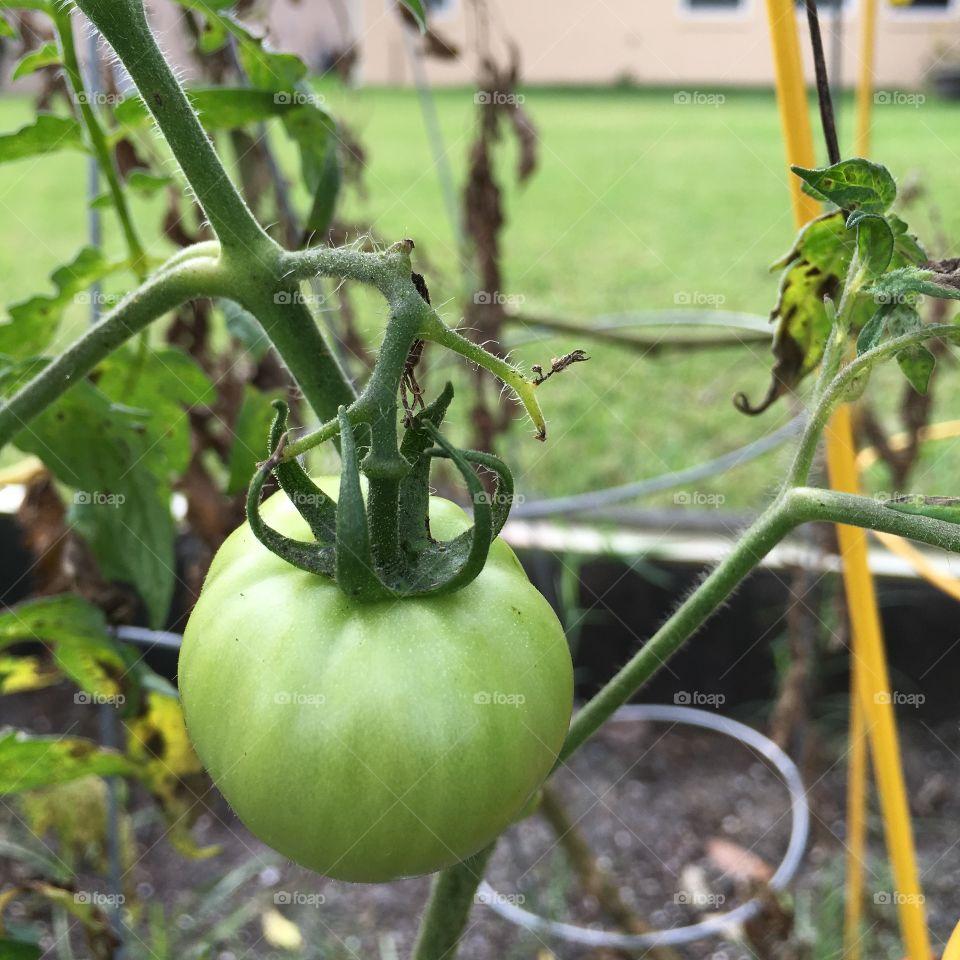 Close-up of green tomatos