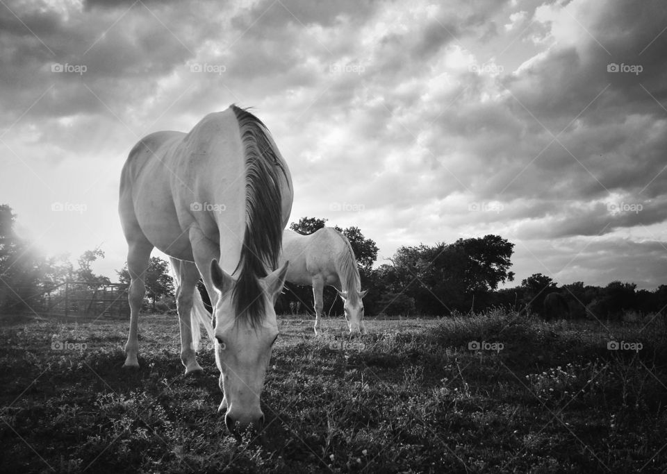 Two gray horses grazing at sundown in black and white