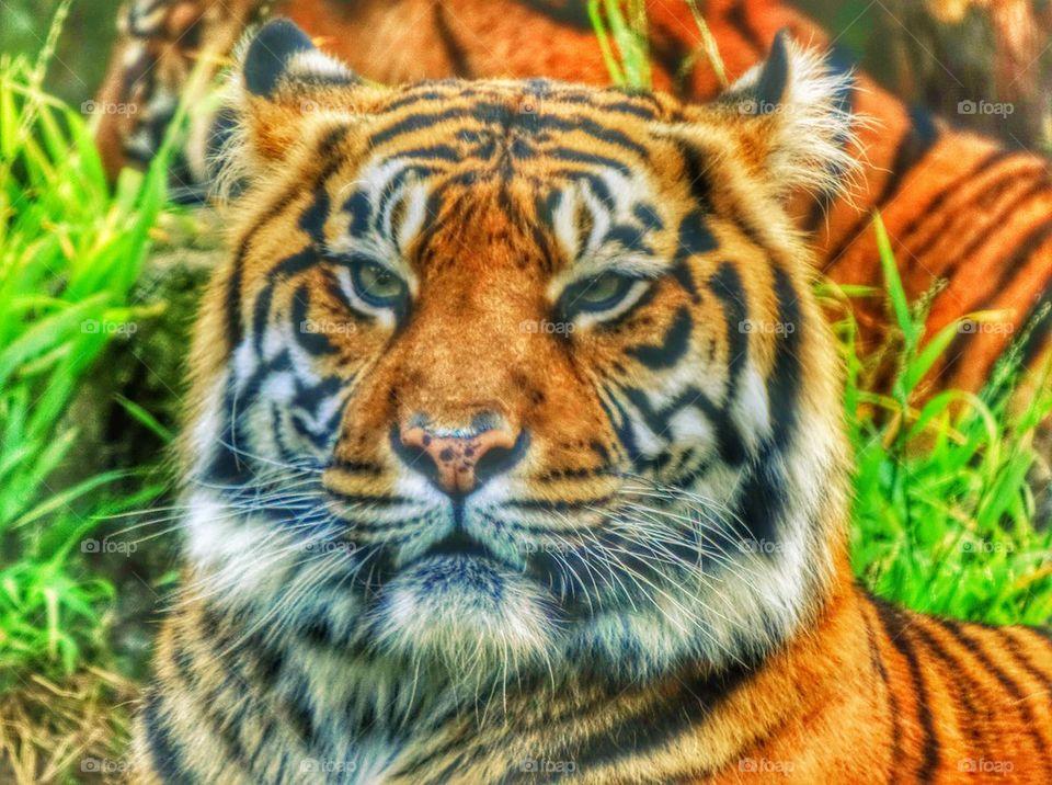 Sumatran Tiger. Powerful Gaze Of A Tiger