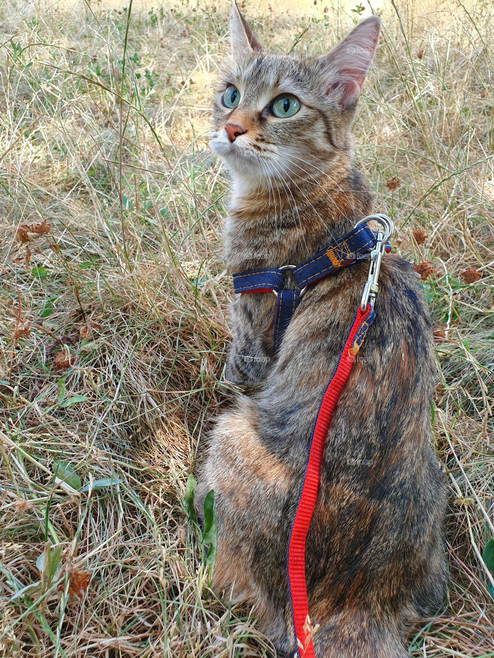cat on a leash looking up sitting in the grass