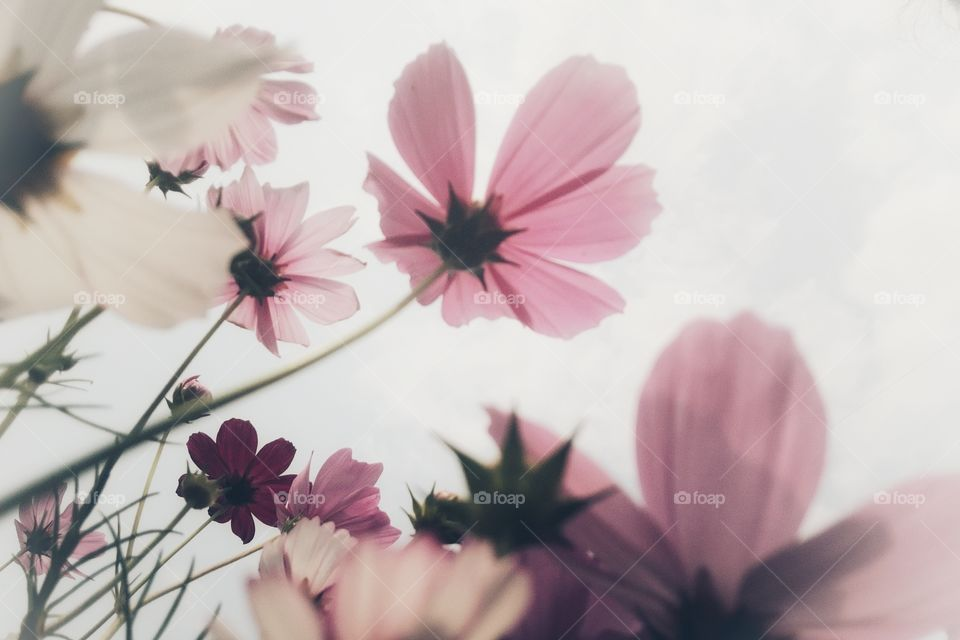 cosmos flower in different angles