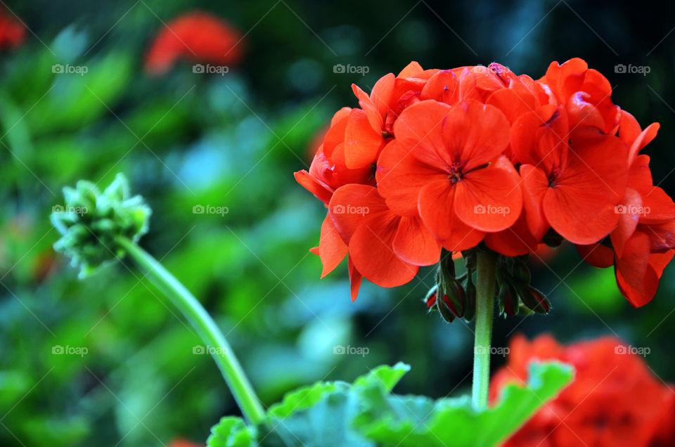 green flower red geraniums by seasky