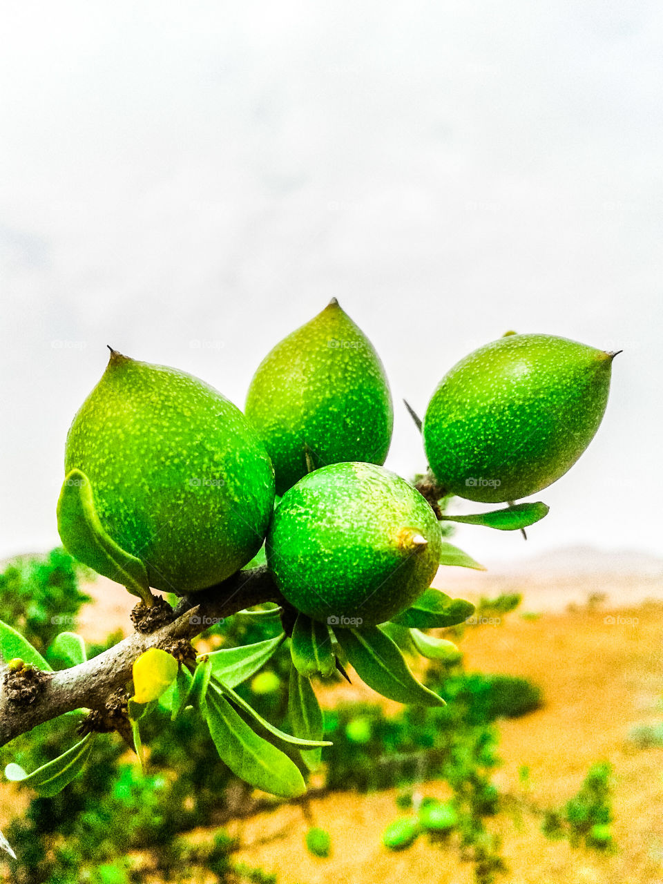 fruit Argan