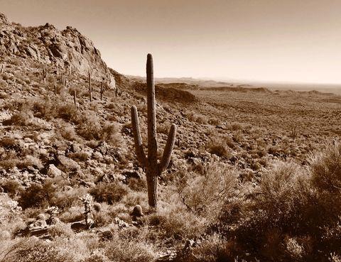 Saguaro in the desert. Saguaro cactus in the Superstition Mountains of Arizona.