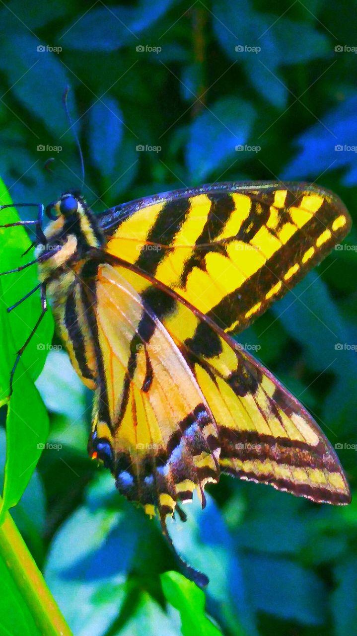 SWALLOWTAIL BUTTERFLY. Beautiful Swallowtail Butterfly In The Garden