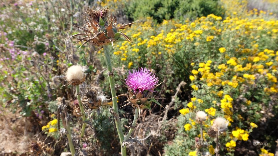 Pink thistle with yellow wildflowers in the background