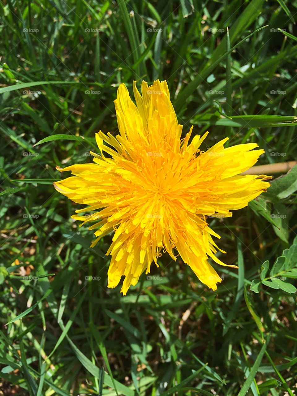 A beautiful, star shaped, dandelion. Some see a weed, I see a thing of beauty!