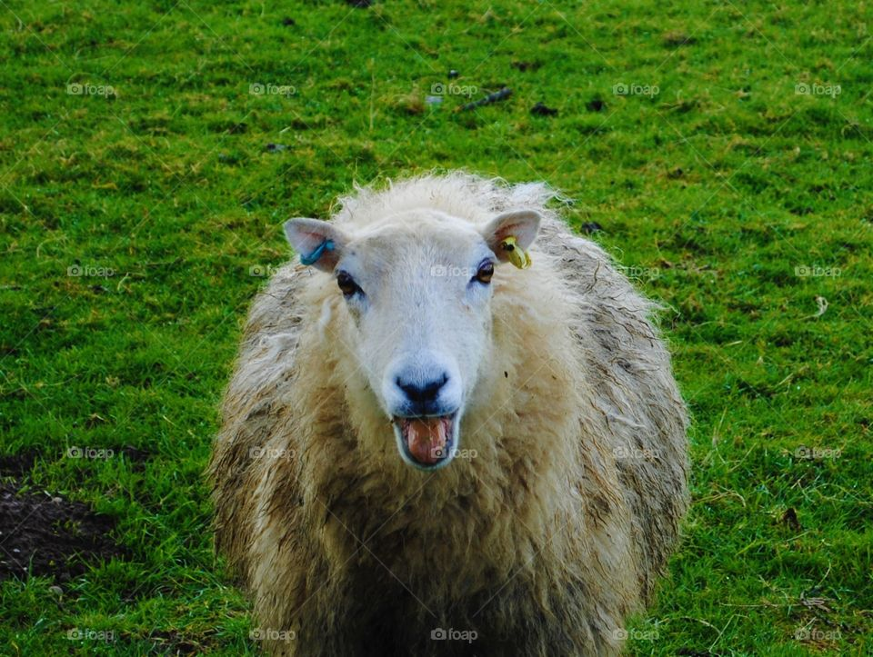 A sheep stares at the camera in a field in wales