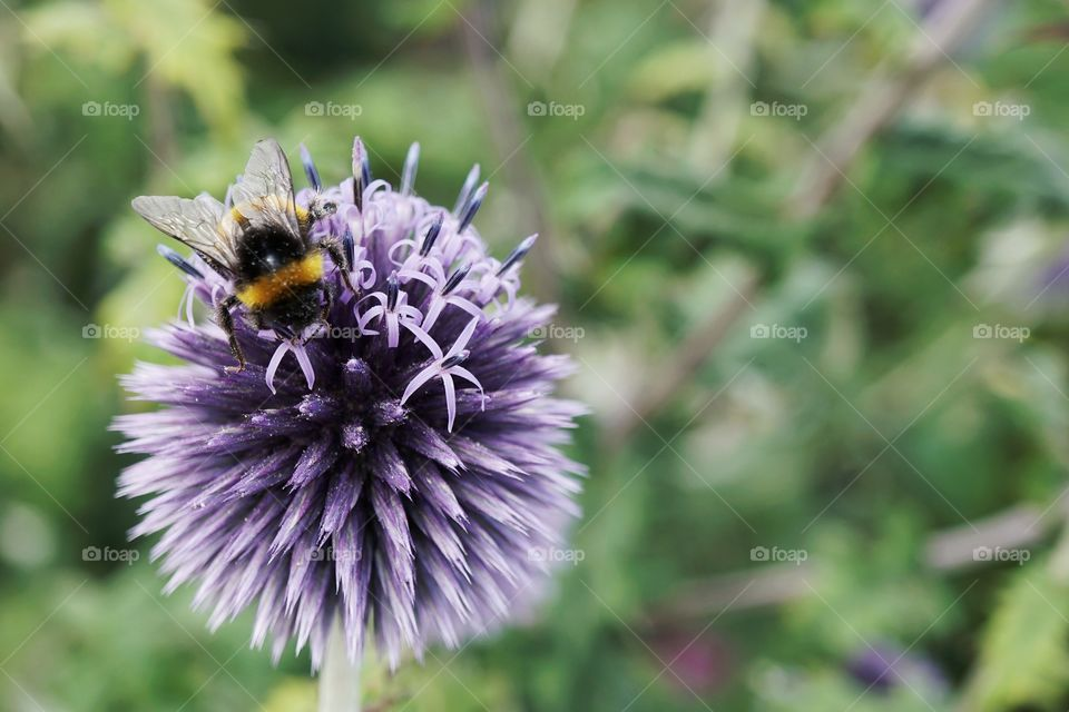 The Bee And The Echinops