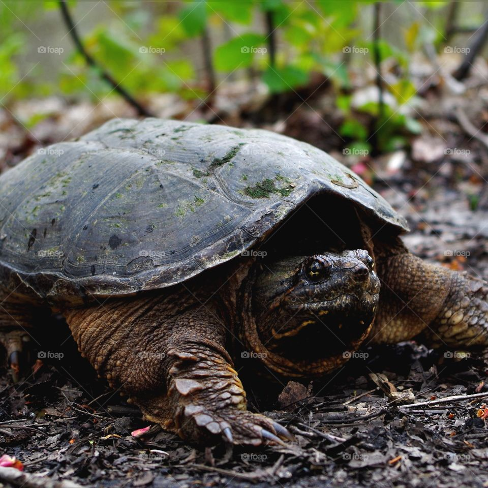 snapping turtle crossing the trail