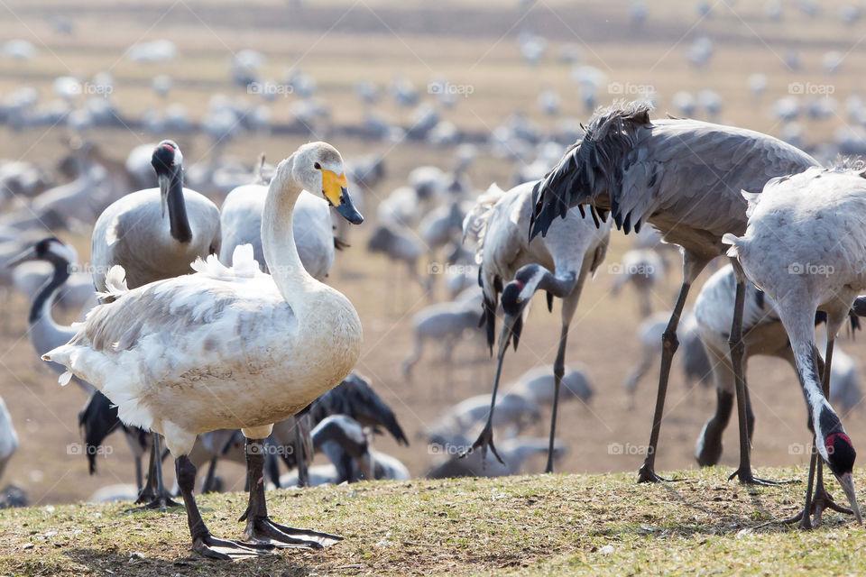 One swan surrounded by Crane birds at lake Hornborga Sweden, En svan omgiven av tranor, trandansen Hornborgasjön Sverige