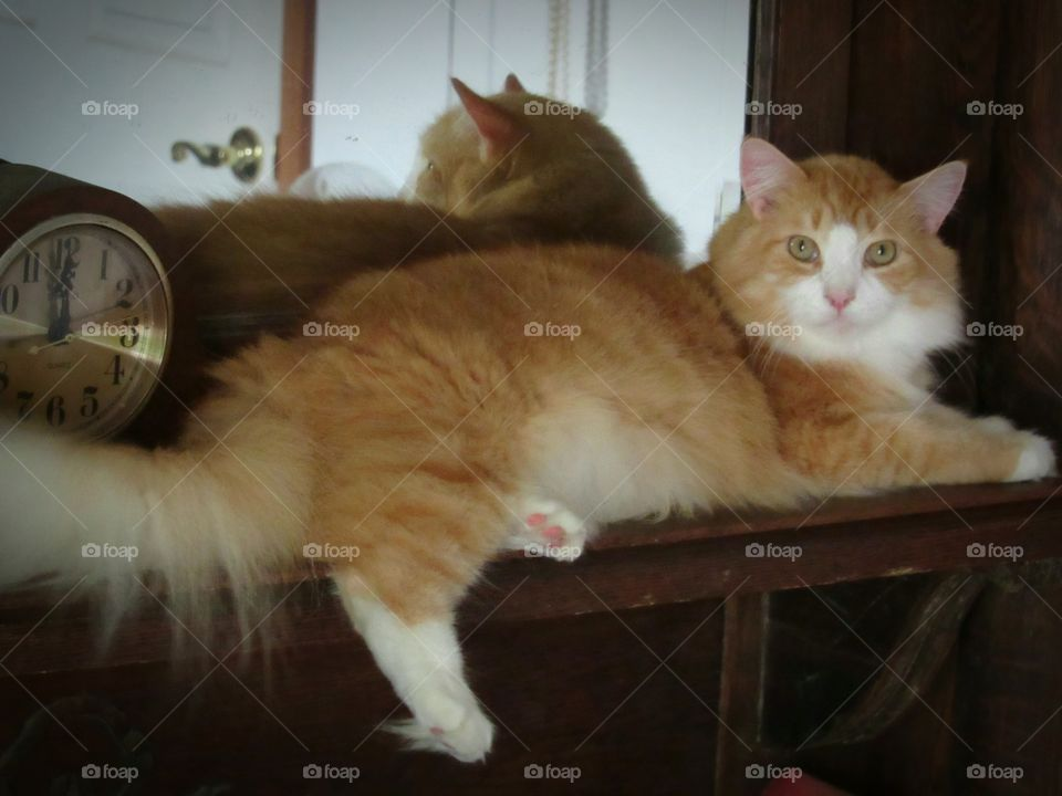 Orange and white Maine Coon cat laying on a mantle chilling