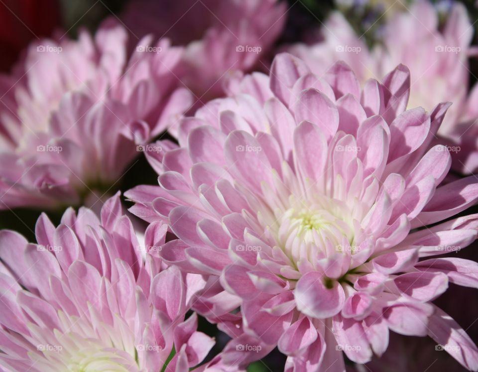 Lavender chrysanthemums