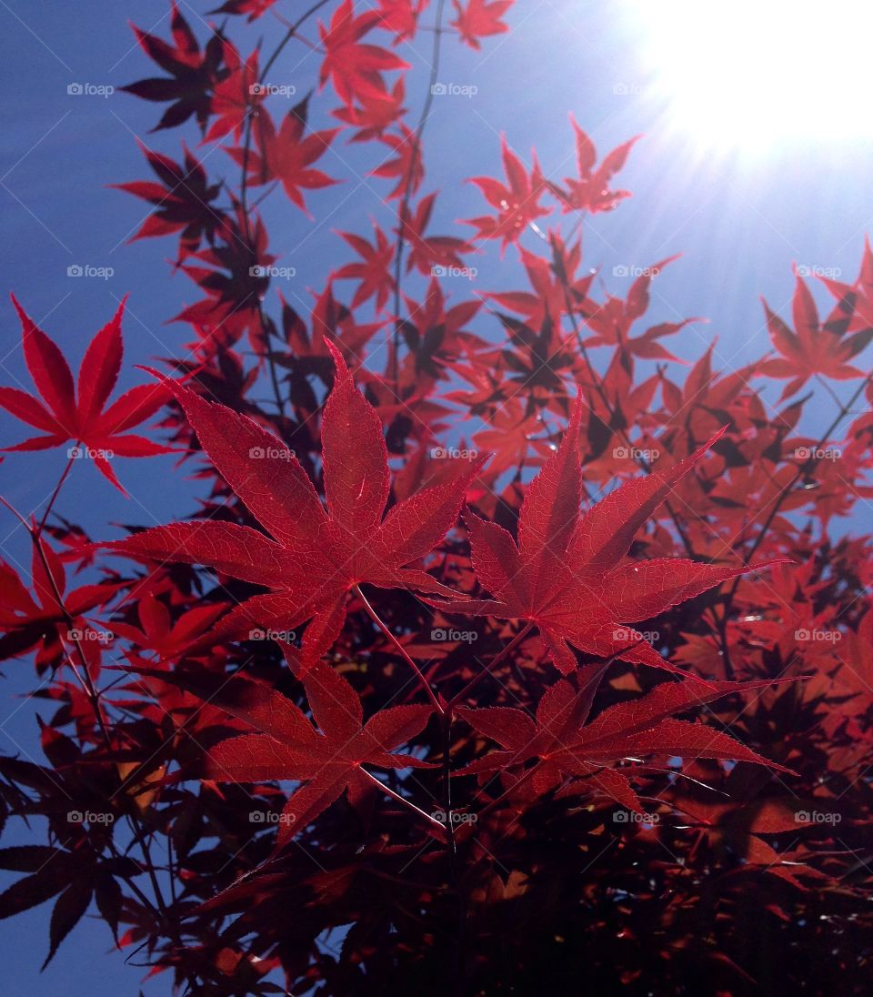 Electric Japanese Maple . Japanese Maple from underneath