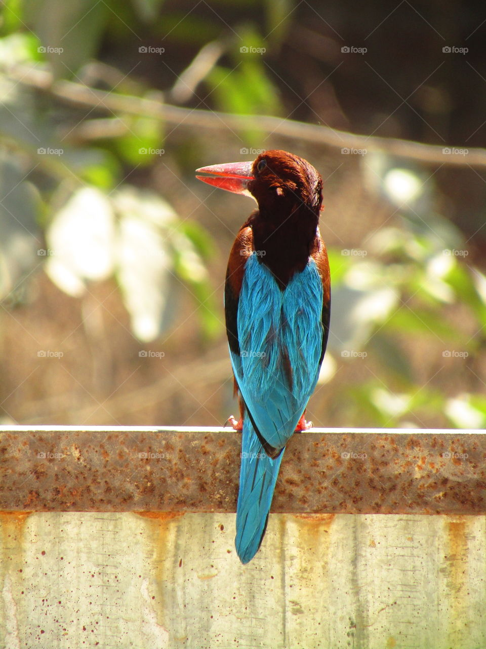 The white throated kingfisher (halcyon smyrnensis) also known as the white-breasted kingfisher.