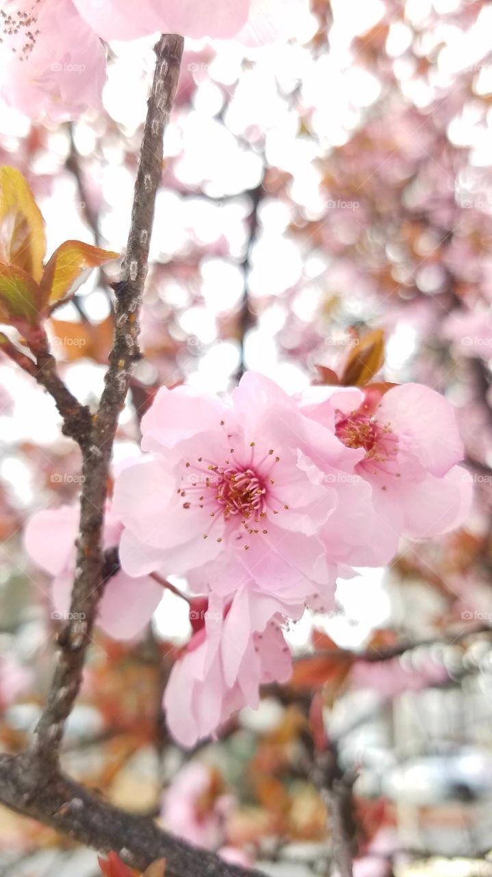 Pink flower in cherry blossom