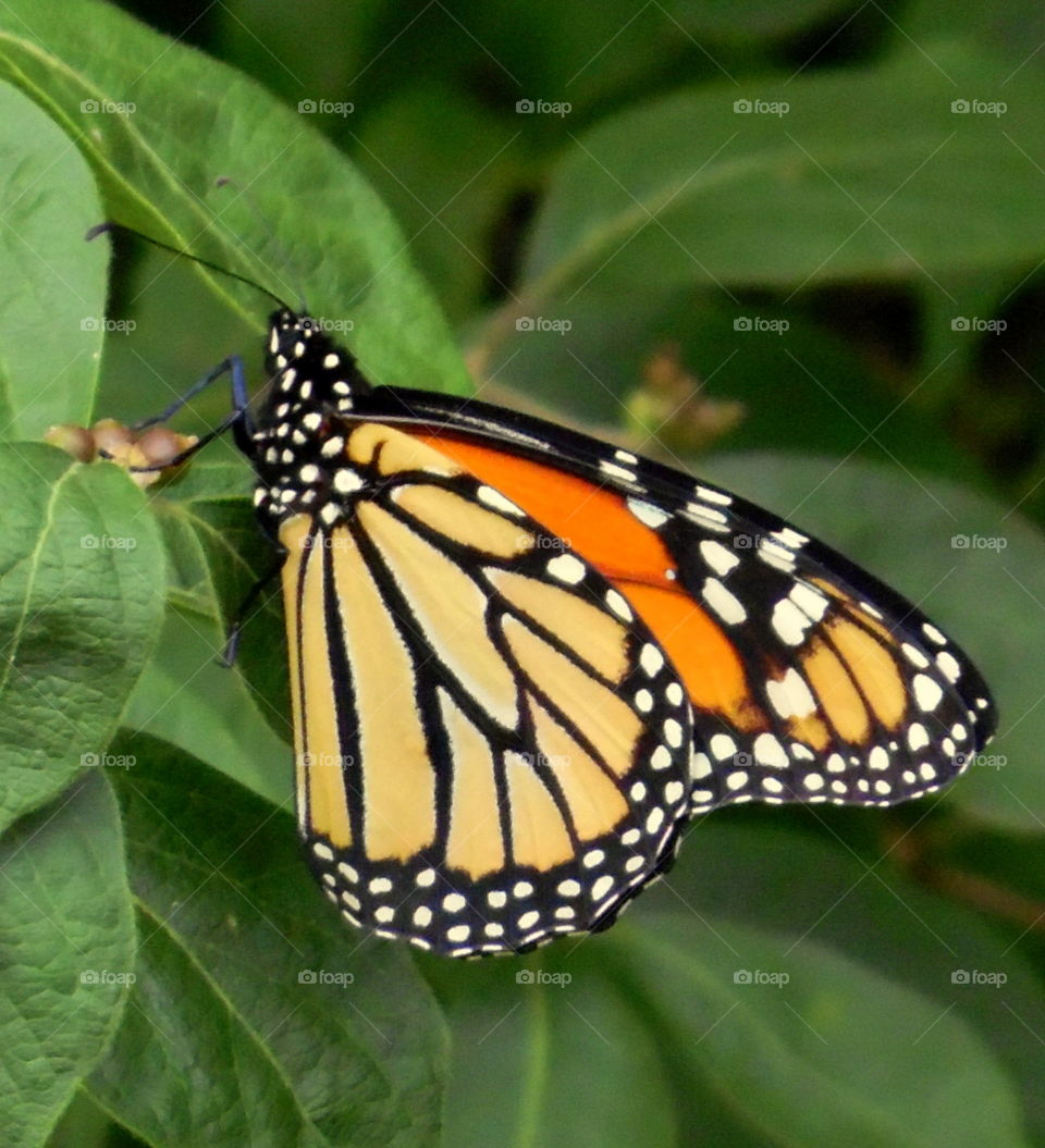 A monarch butterfly sitting on the green leaves