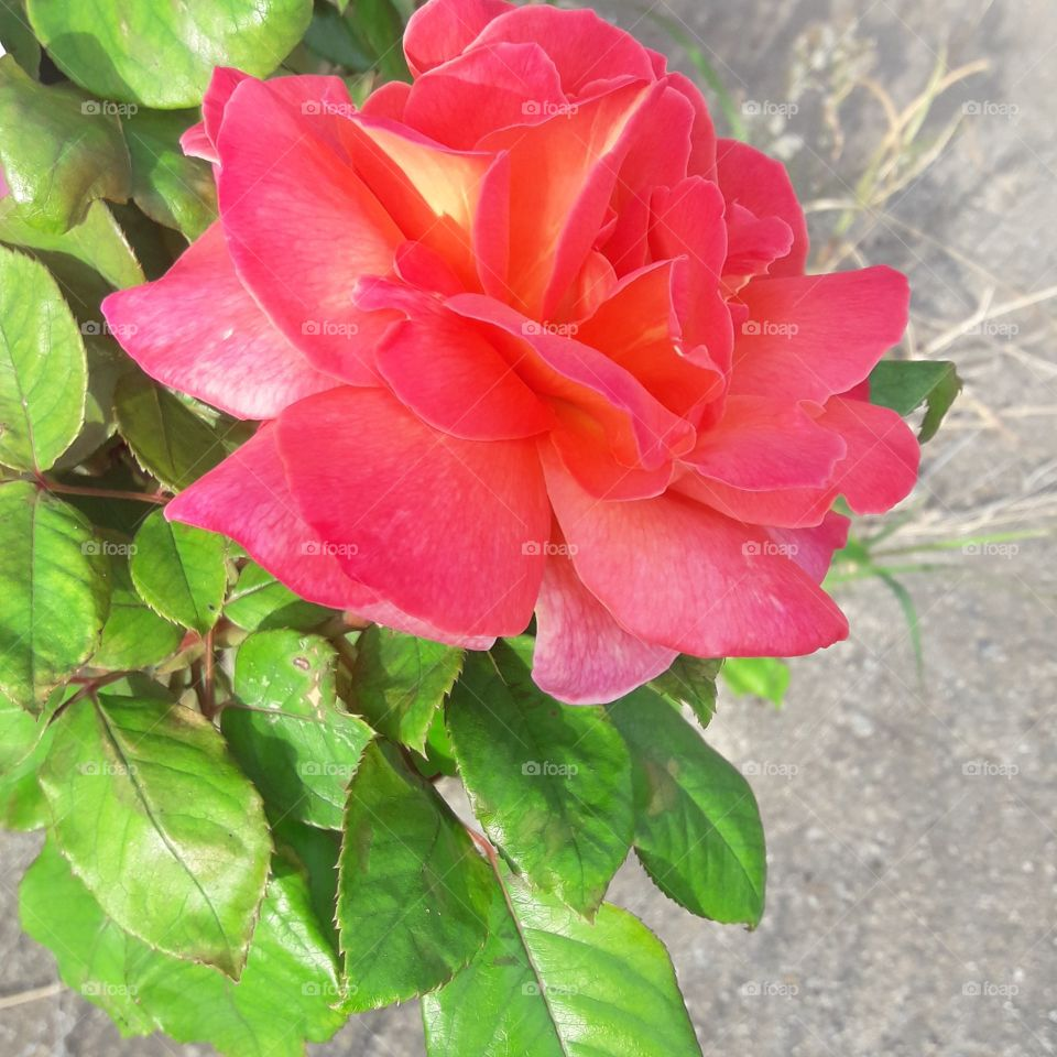 beautiful rose and picture