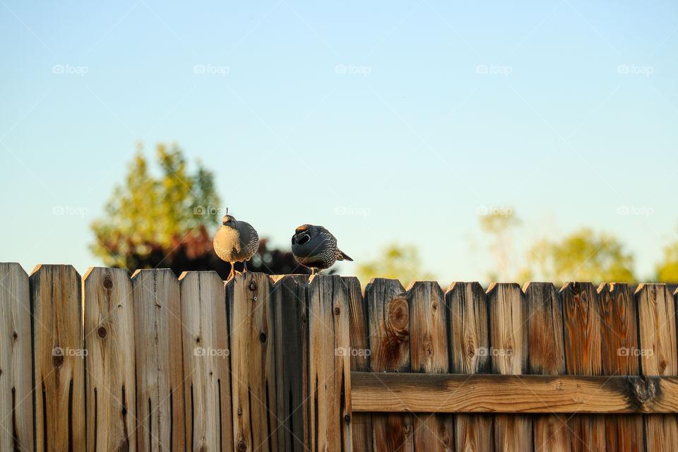 Wild quail couple