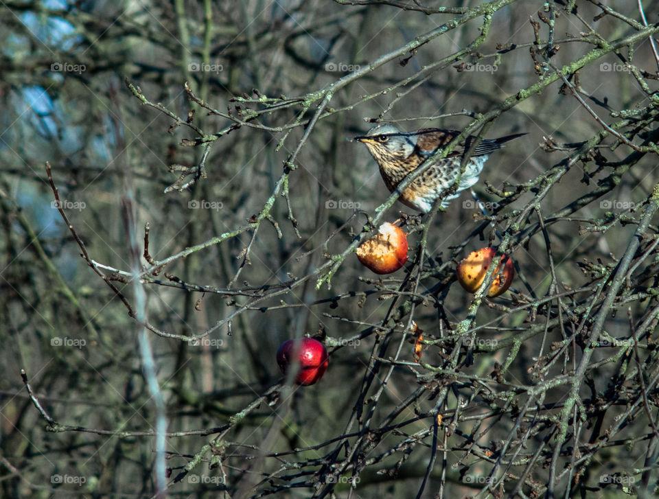 Jay on the tree eating apple.