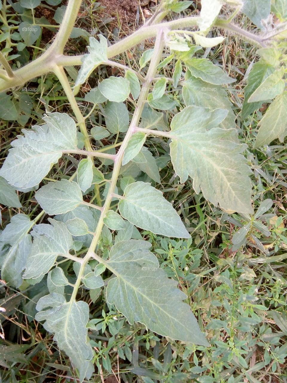 #আমার_চোখে #আমার_গ্রাম #nature  2018-01-08 08  leaf