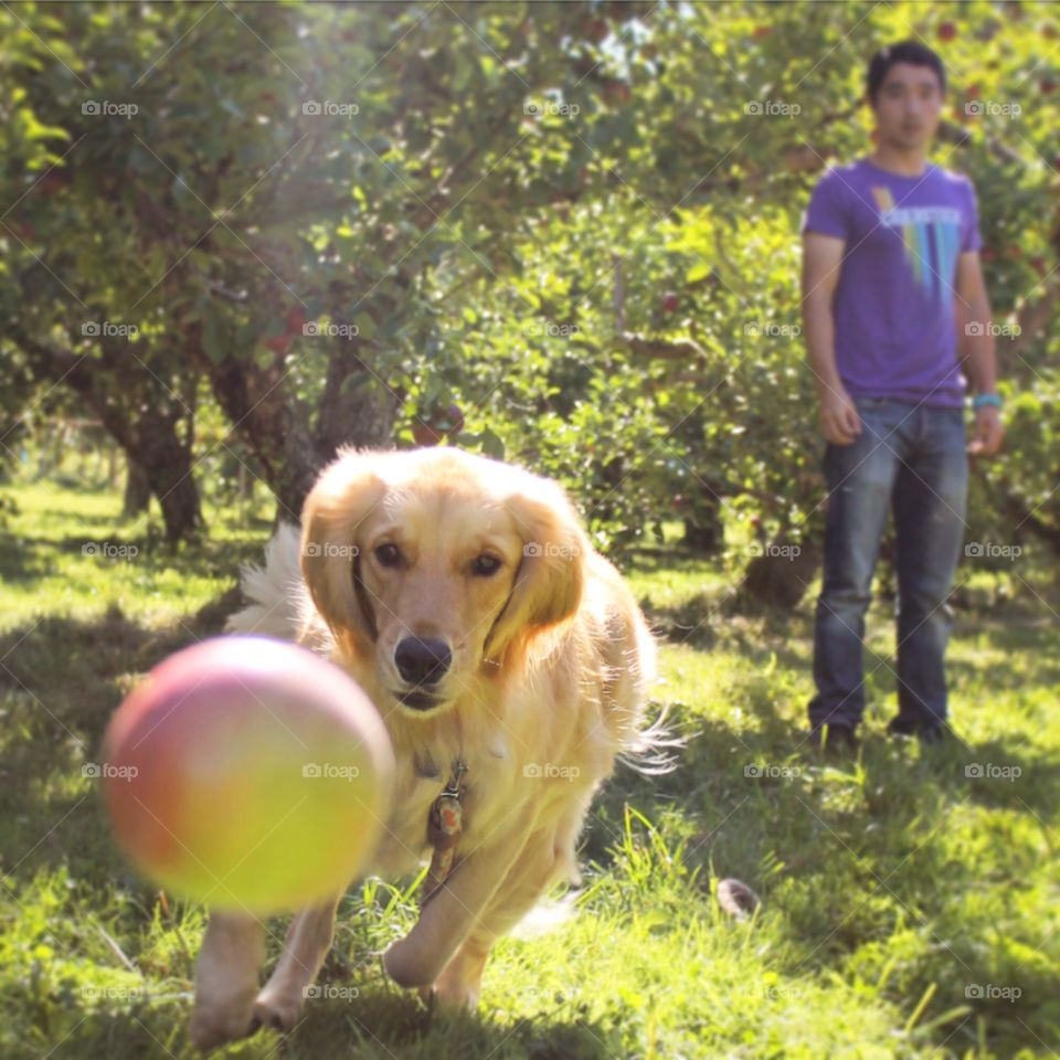 Apple Picking. Dug the dog at the apple orchard. Playing fetch with apples.