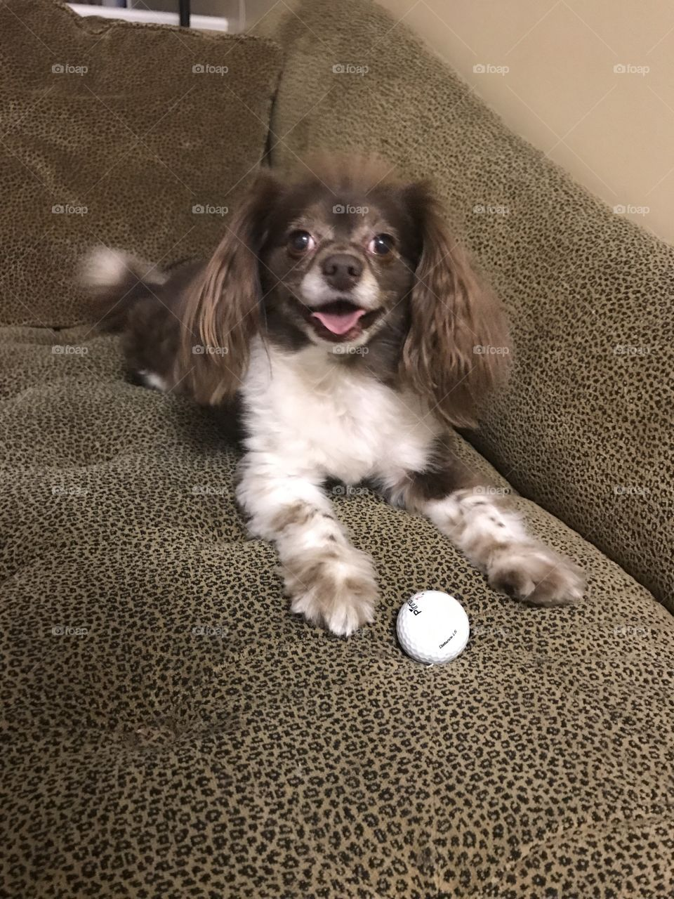 Funny looking brown dog with long flappy ears and white golf ball.