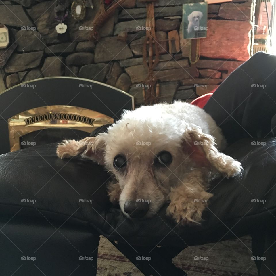Dog With Fieldstone Fireplace Background   My leg rest was up & hubby saw opportunity for this photo of my poodle at my feet. Our fieldstone fireplace was burning but you don't see that, too bad!