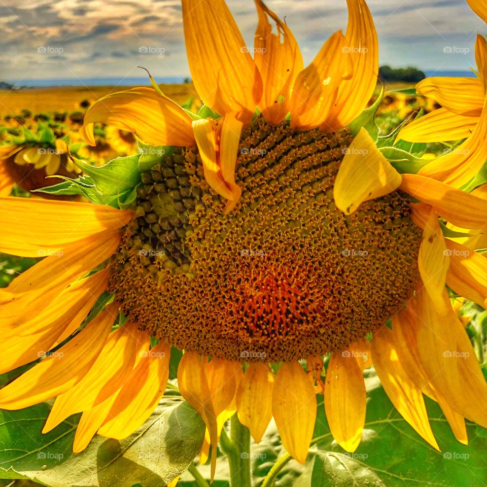 Fully bloomed sunflower with seeds showing soon to be harvested for fall
