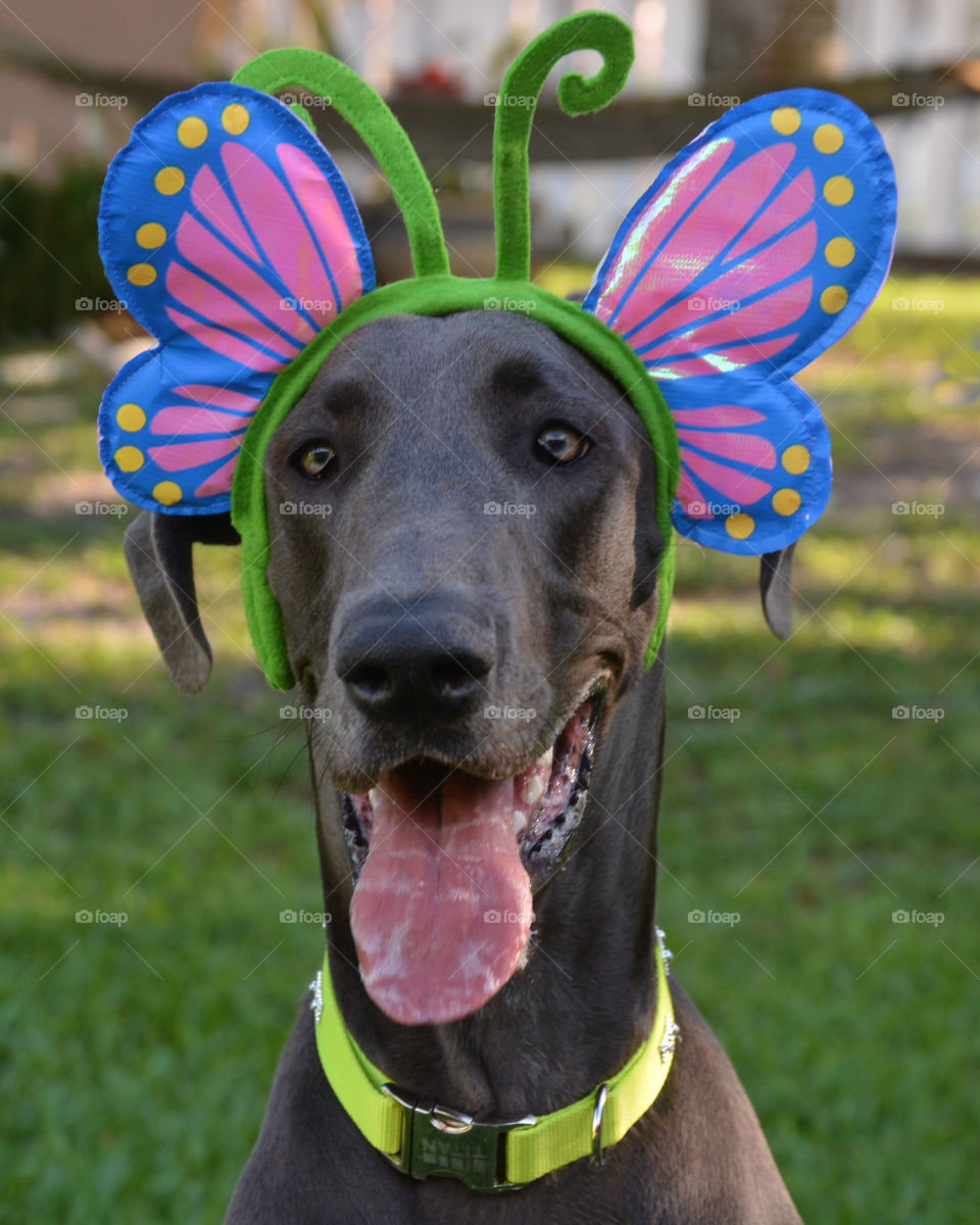 Butterfly Easter Doggie - my Great Dane smiling for her spring time photo