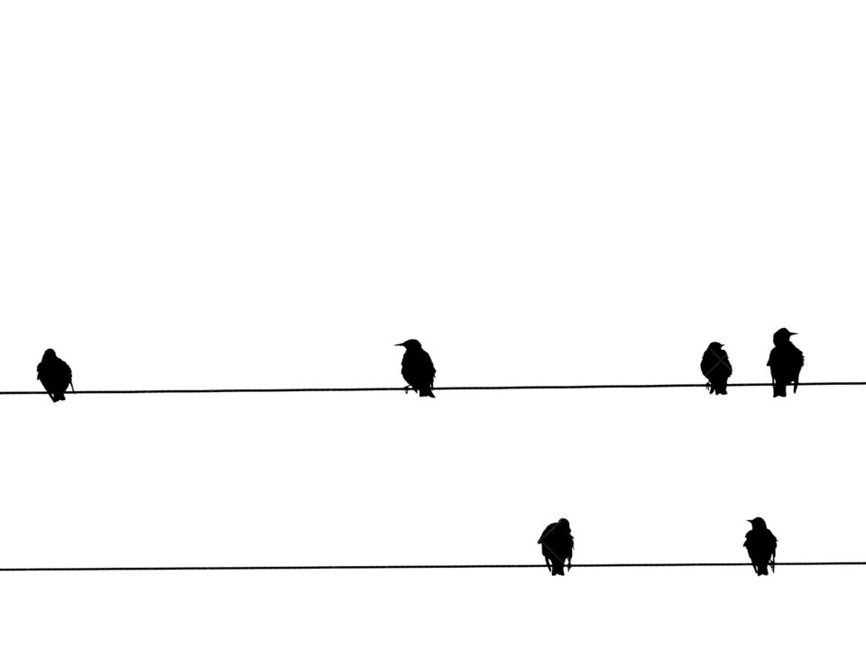 Birds sitting on the power lines - B&W photo