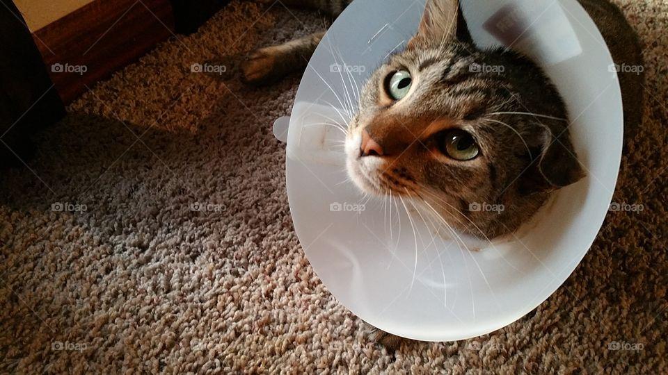 Sad Cat in the Cone of Shame