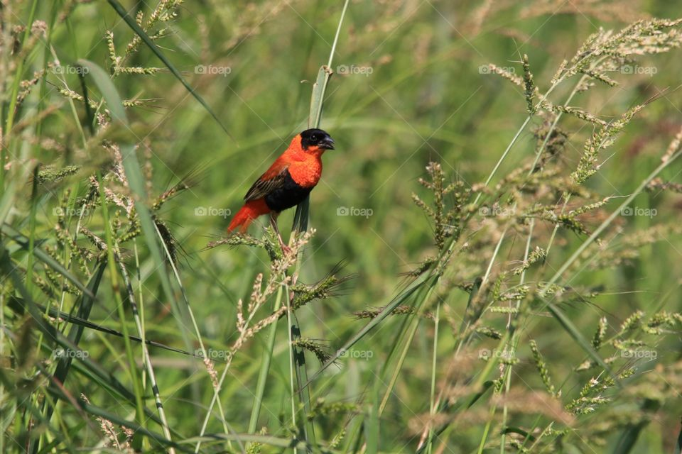 Orange Bishop in reeds