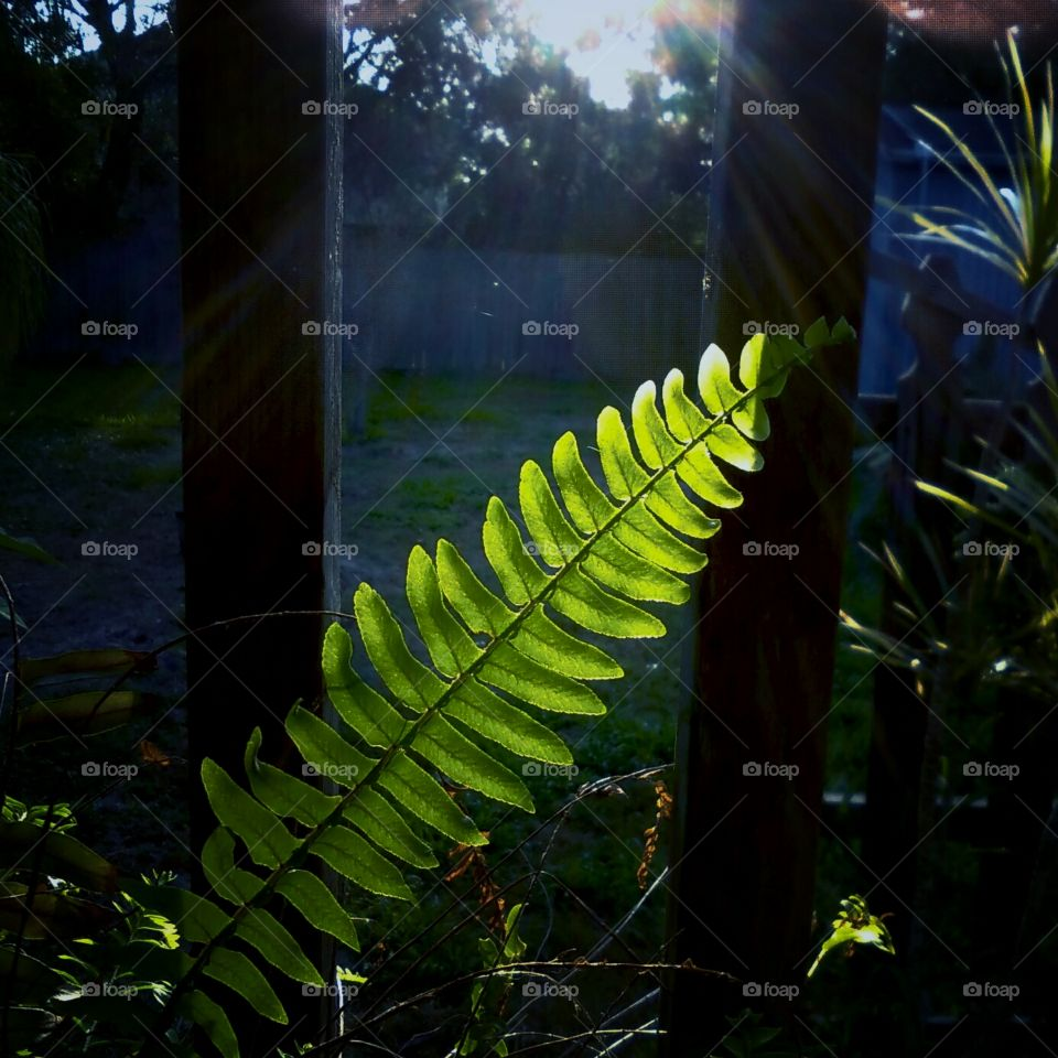 Fern Plant In Morning Sun
