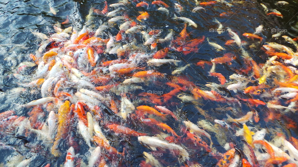 large Japanese koi carp feeding in a huge pond / ornamental lake truly a spectacle to be seen.