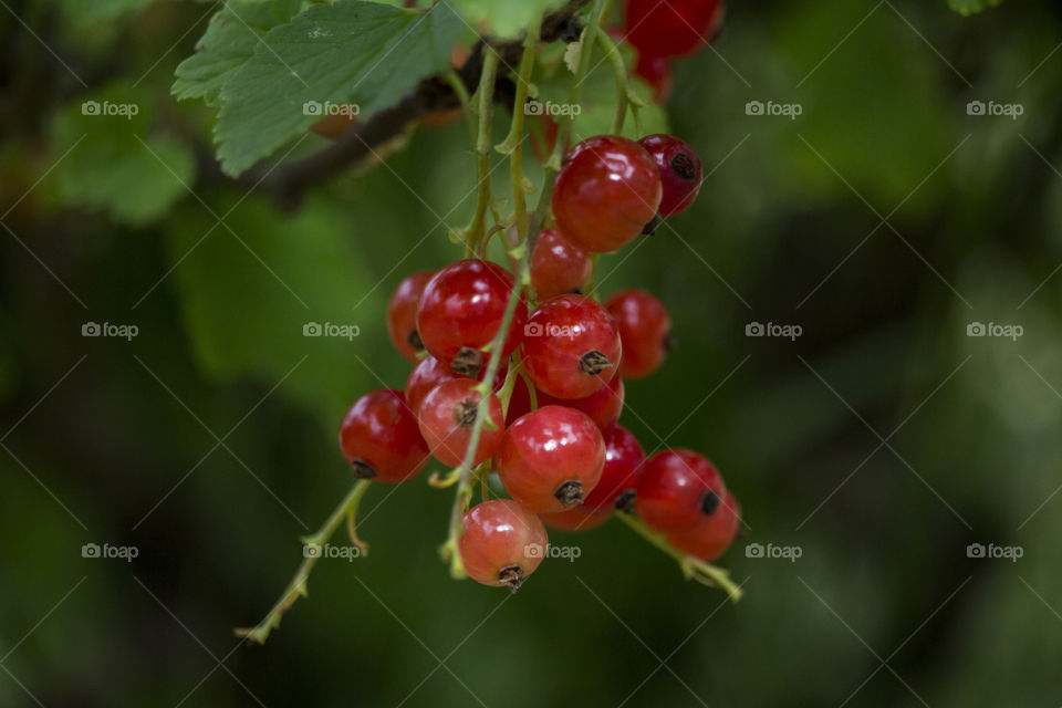 Colorful red currant berries
