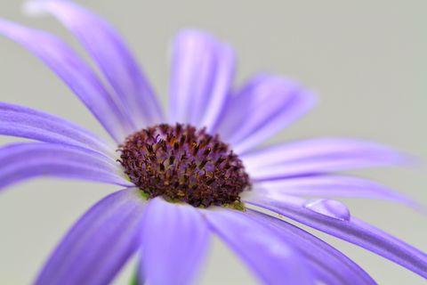 Purple Flower. A water droplet resting on the petal of a delicate purple flower.