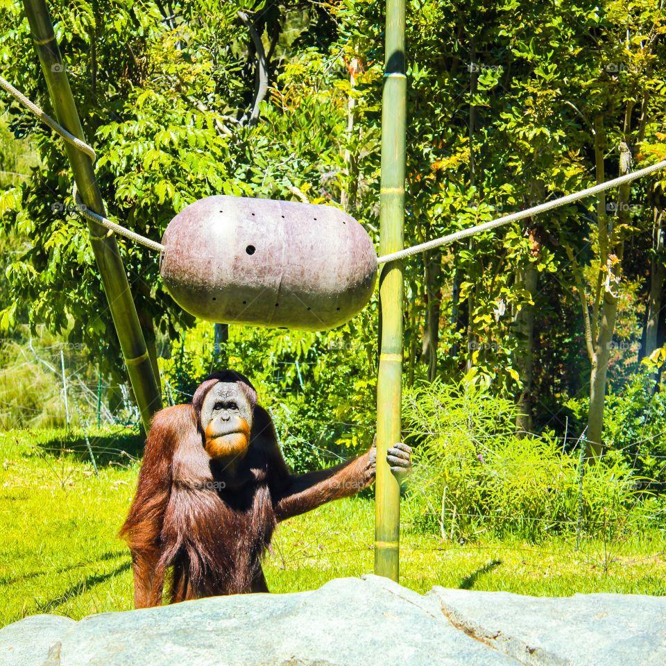 Orangutan waiting on a ride 😉