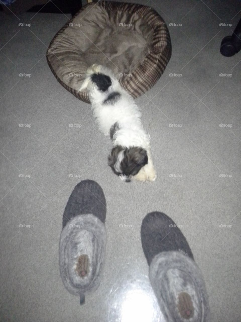 sleeping puppy and the kidnapped slippers