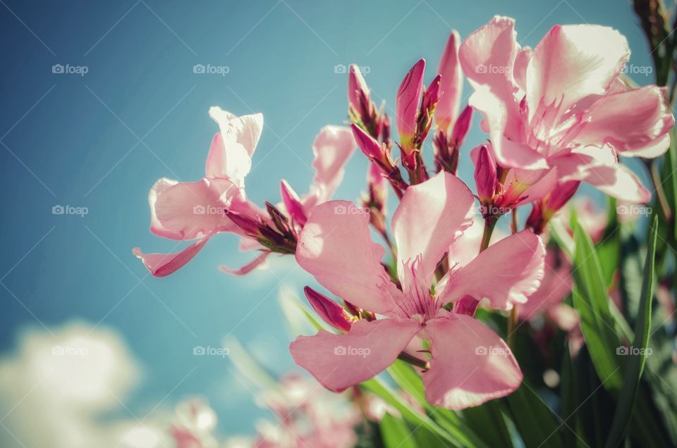 Beautiful delicate pink flowers growing next to the mountain roads that lead to the seashore.