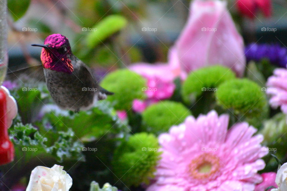 fat red headed hummingbird inflight with pink flowers