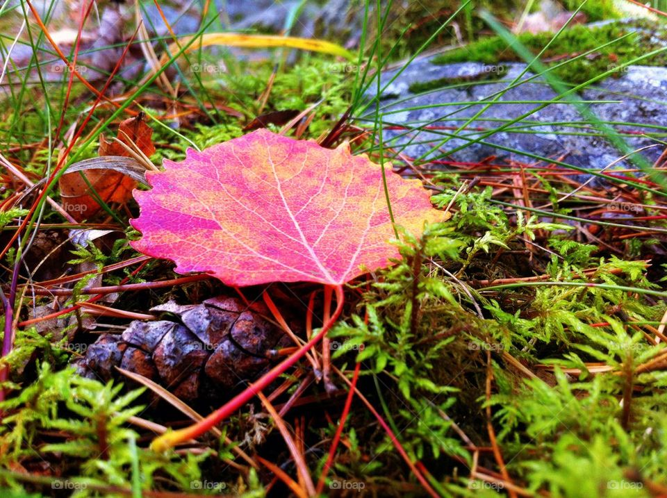 Red aspen leaf in forest in fall.