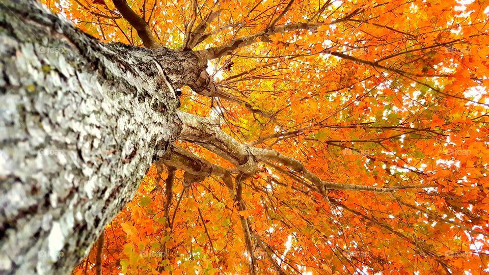 Our tree is always the last to change in the autumn. But it looks amazing with its fire red and orange leaves. This is an upward shot from the trunk of that tree.