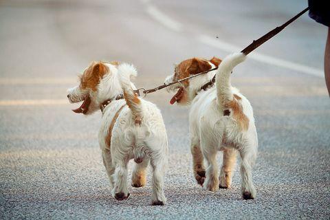 Dogs on walk