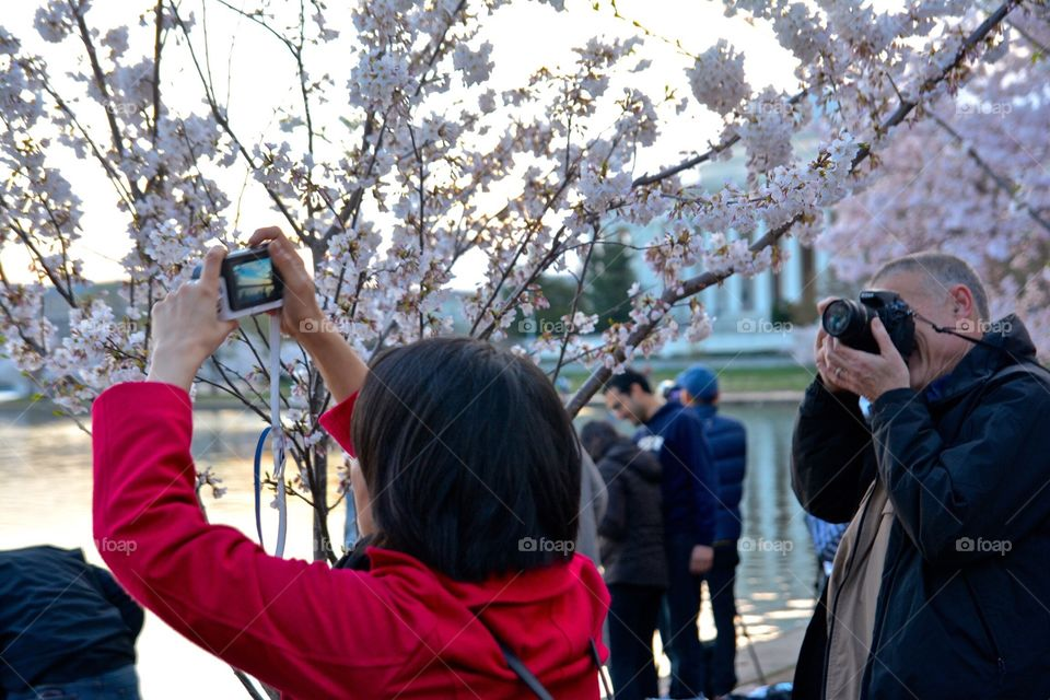 Spring brings cherry blossoms and tourists