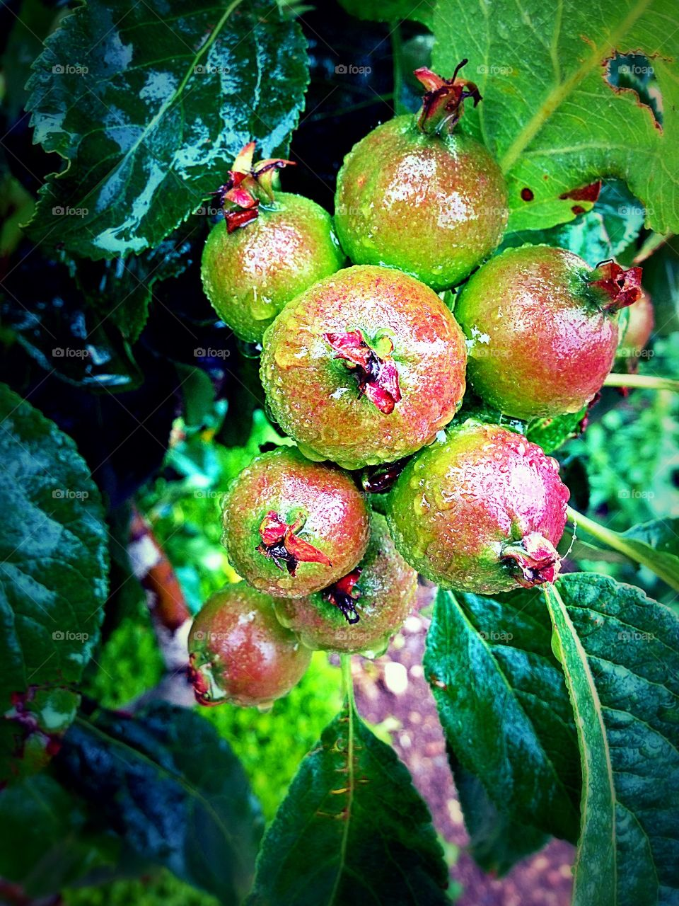 Baby Apples Ripening On The Tree