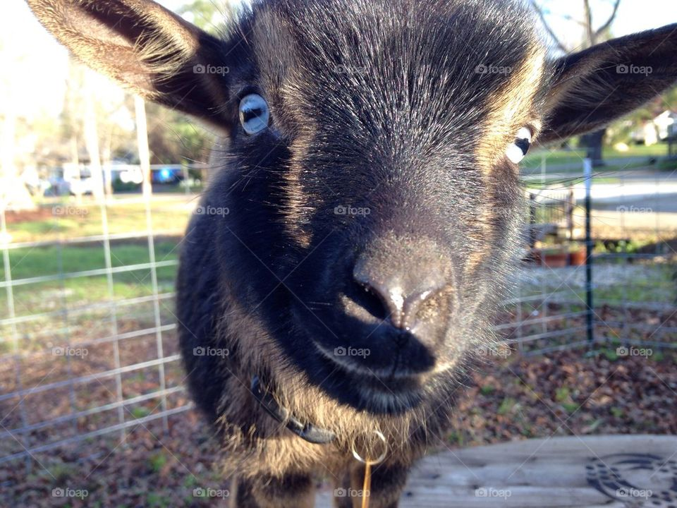 Baby Goat | image, happy, young, closeup