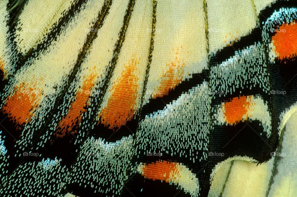 Close up macro shot of the wing of a Swallowtail butterfly revealing the tiny delicate scales which coat the wing structure.