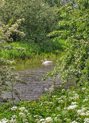 Pair of swan swimming on lake near forest